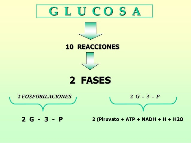 G L U C O S A 10 REACCIONES 2 FASES 2 FOSFORILACIONES 2 G - 3 - P 2 G - 3 - P 2 (Piruvato + ATP + NADH + H + H2O