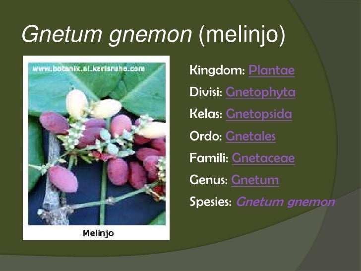 Gnetum gnemon (melinjo)              Kingdom: Plantae              Divisi: Gnetophyta              Kelas: Gnetopsida      ...