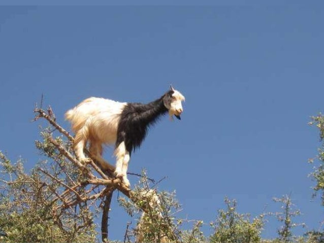 The argan (Argania spinosa) is a species of tree endemic to the calcareous valley of southwestern Morocco and to the Alger...