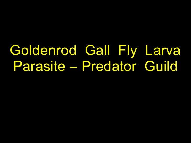 Goldenrod  Gall  Fly  Larva Parasite – Predator  Guild