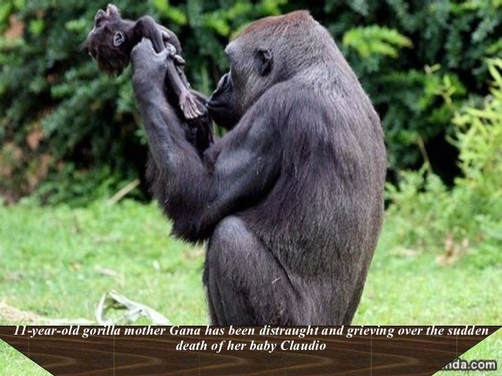 11-year-old gorilla mother Gana has been distraught and grieving over the sudden death of her baby Claudio