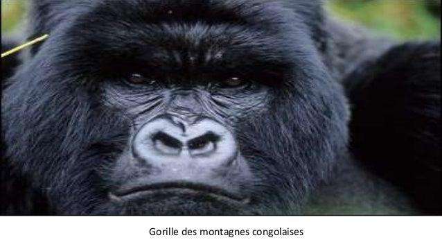 Gorille des montagnes congolaises
