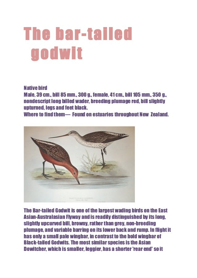 The bar-tailed godwit Native bird Male, 39 cm., bill 85 mm., 300 g., female, 41 cm., bill 105 mm., 350 g., nondescript lon...