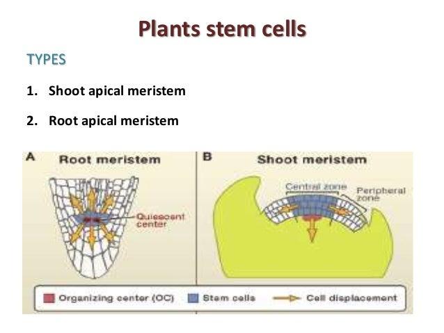 Plant Stem Cells