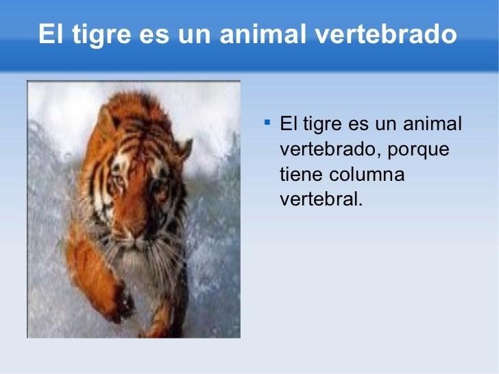 El tigre es un animal vertebrado <ul><li>El tigre es un animal vertebrado, porque tiene columna vertebral. </li></ul>