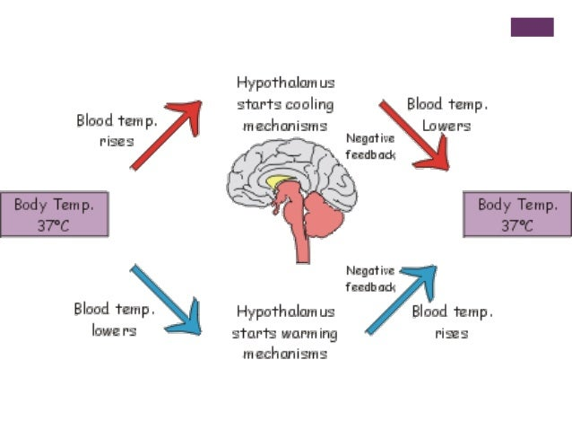 homeostasis: metabolism and body essay Free essay: the human body has 11 different organ systems working together to perform functions for life the circulatory system is one, which consists of the lungs 5 this is the sum of all cellular processes that occur in the body e metabolism.
