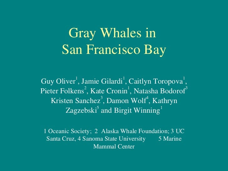 Gray whales in sf bay