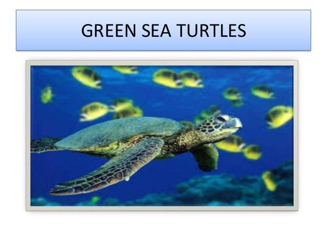 GREEN SEA TURTLES
