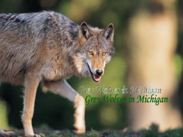 Grey Wolves In Michigan