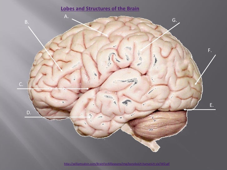 Human brain anatomy atlas