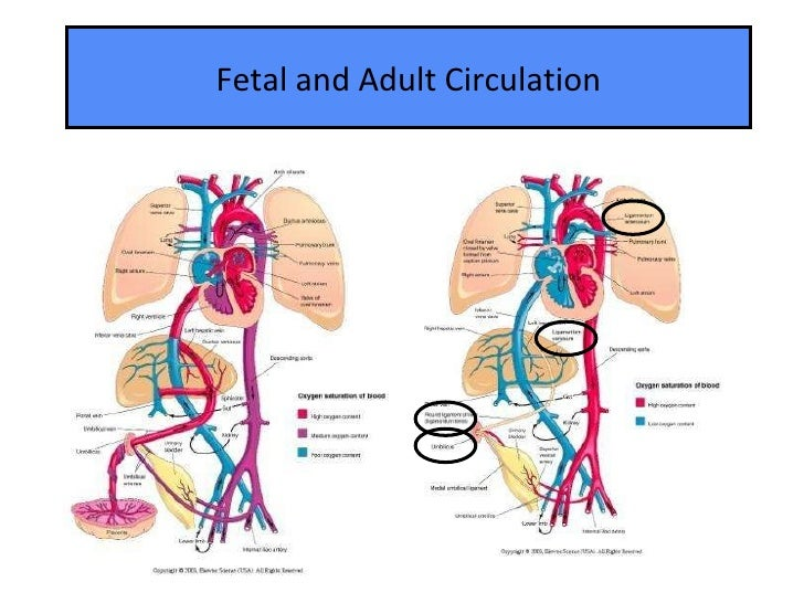 adult and fetal circulation compared