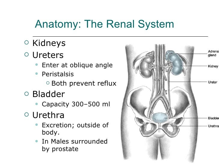 Anatomy: The Renal System <ul><li>Kidneys </li></ul><ul><li>Ureters </li></ul><ul><ul><li>Enter at oblique angle </li></ul...