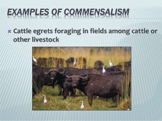 cattle egrets and livestock relationship questions