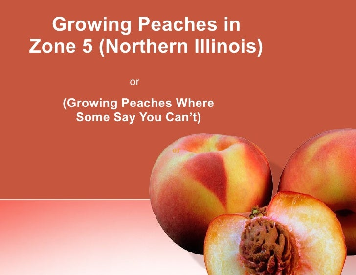Growing Peaches in Zone 5 (Northern Illinois) (Growing Peaches Where Some Say You Can't) or   or