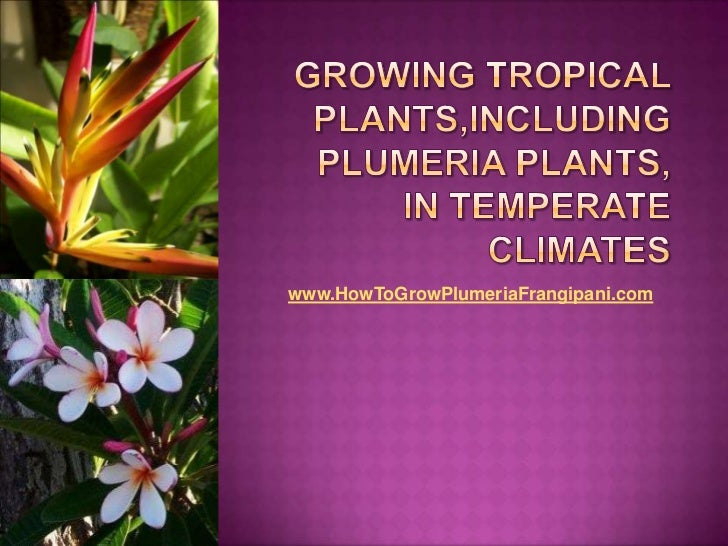 Growing Tropical Plants, Including Plumeria Plants, In Temperate Climates