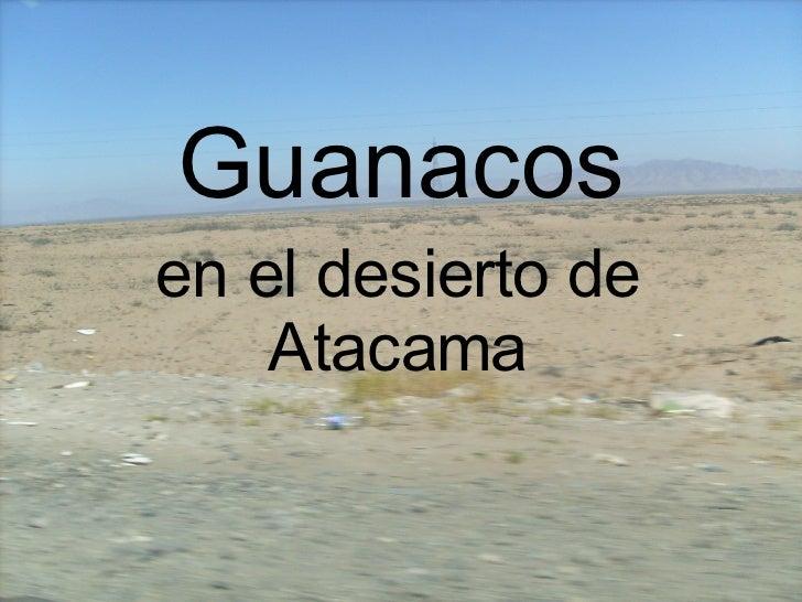 Guanacos en el desierto de Atacama