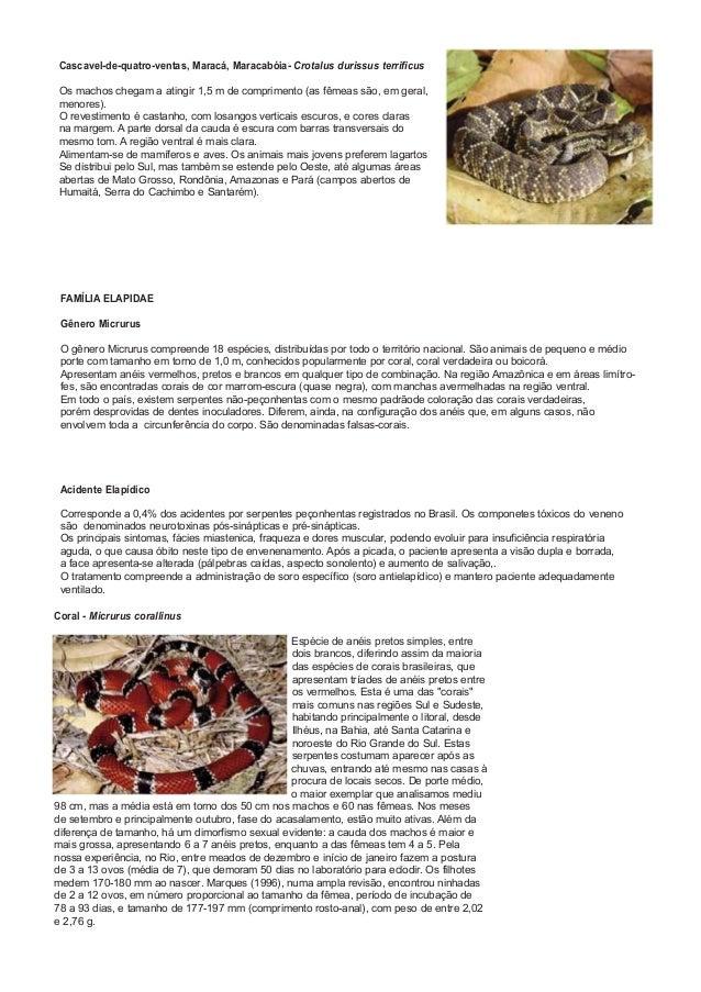 Cascavel-de-quatro-ventas, Maracá, Maracabóia- Crotalus durissus terrificus Os machos chegam a atingir 1,5 m de compriment...