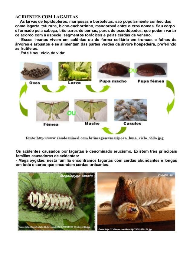 ACIDENTES COM LAGARTAS As larvas de lepidópteros, mariposas e borboletas, são popularmente conhecidas como lagarta, tatura...