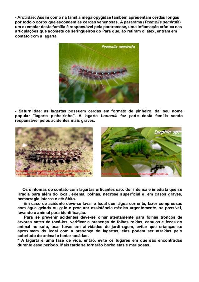 - Arctiidae: Assim como na família megalopygidae também apresentam cerdas longas por todo o corpo que escondem as cerdas v...