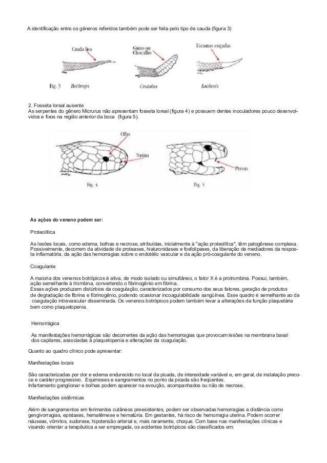 A identificação entre os gêneros referidos também pode ser feita pelo tipo de cauda (figura 3) 2. Fosseta loreal ausente A...