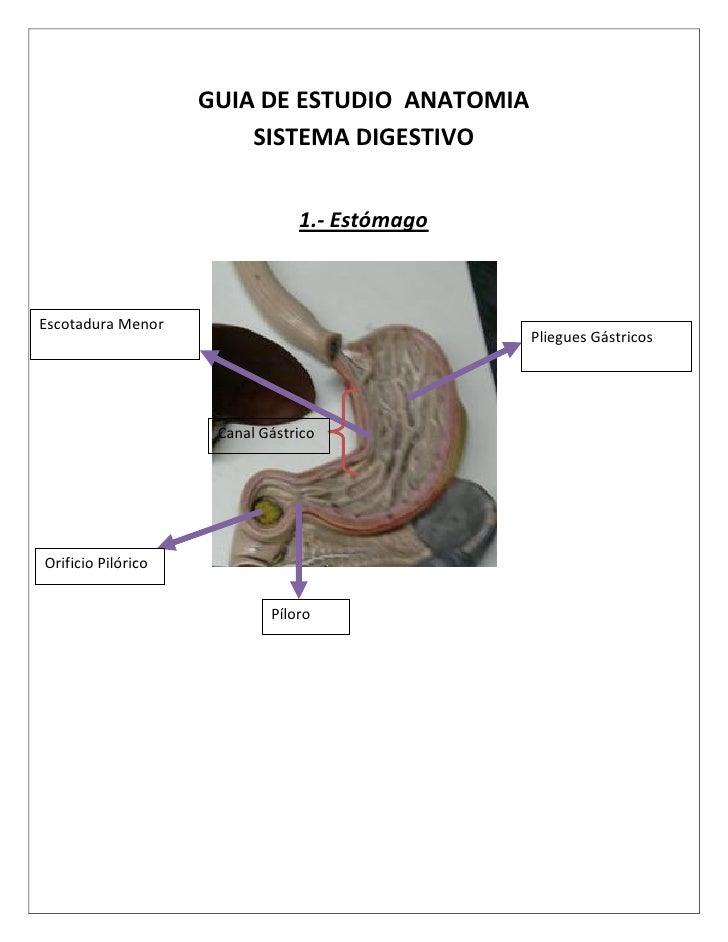 GUIA DE ESTUDIO ANATOMIA                         SISTEMA DIGESTIVO                                   1.- Estómago    Escot...
