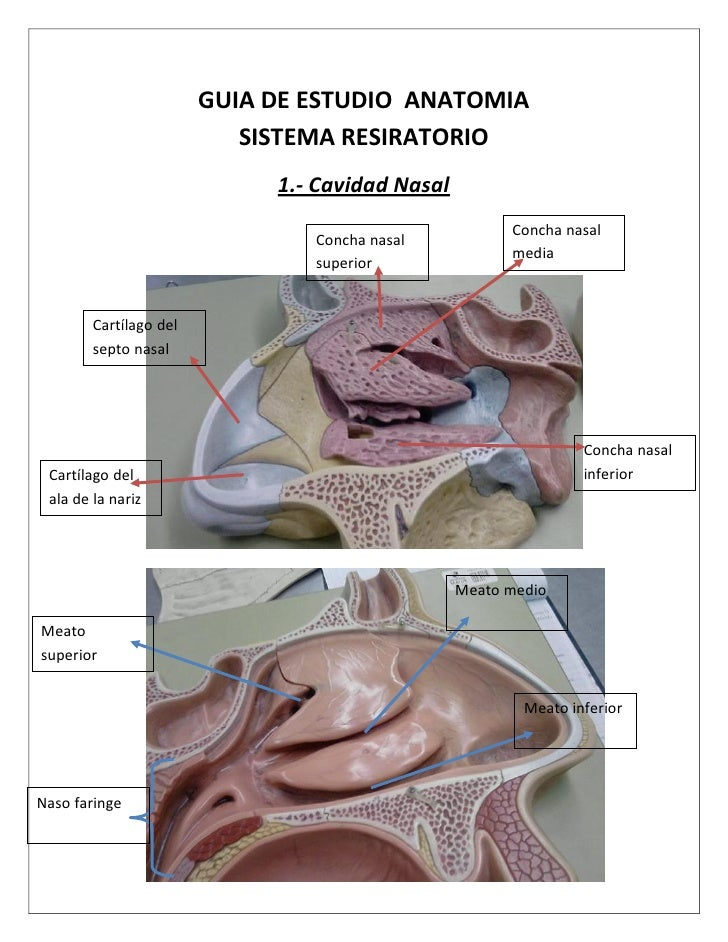 GUIA DE ESTUDIO ANATOMIA                            SISTEMA RESIRATORIO                              1.- Cavidad Nasal    ...