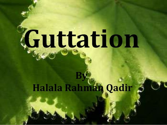 Guttation By Halala Rahman Qadir