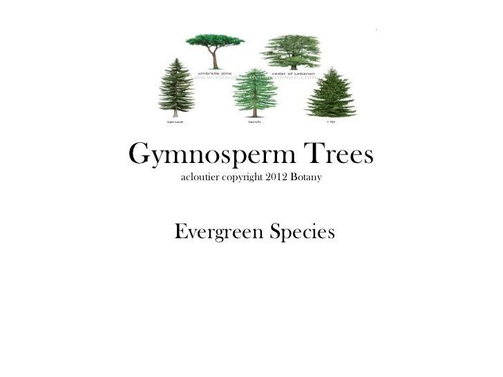 Gymnosperm Trees   acloutier copyright 2012 Botany  Evergreen Species