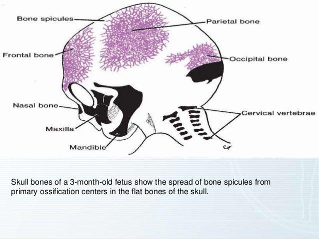 5 Bones of The Fetal Skull 5 Skull Bones