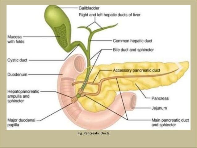 паразиты поджелудочной железы человека