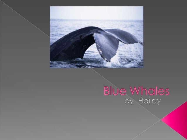  Did you know that blue whales can be up to 100 feet long?  They are the world's largest mammals.  Blue whales use tail...