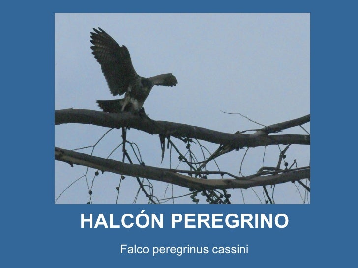 HALCÓN PEREGRINO   Falco peregrinus cassini