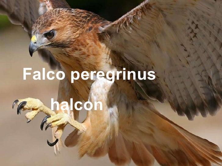 1- Falco peregrinus  halcón Falco peregrinus halcon