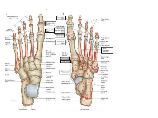 Detailed Foot Anatomy 8235573 Togelmayafo