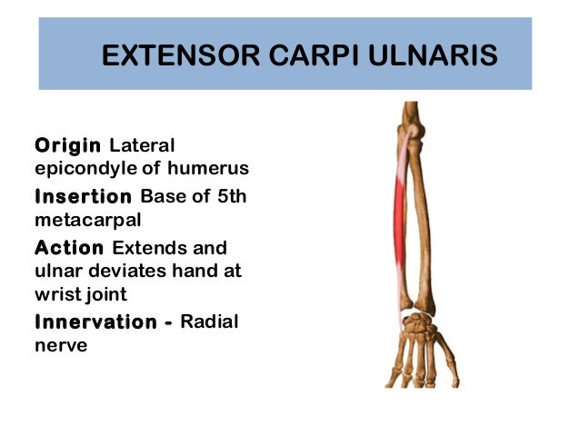 Extensor Carpi Radialis Longus Muscle together with Watch further 13225734 together with Anatomy Of Radius Bone furthermore Ganglion. on dorsal side of forearm