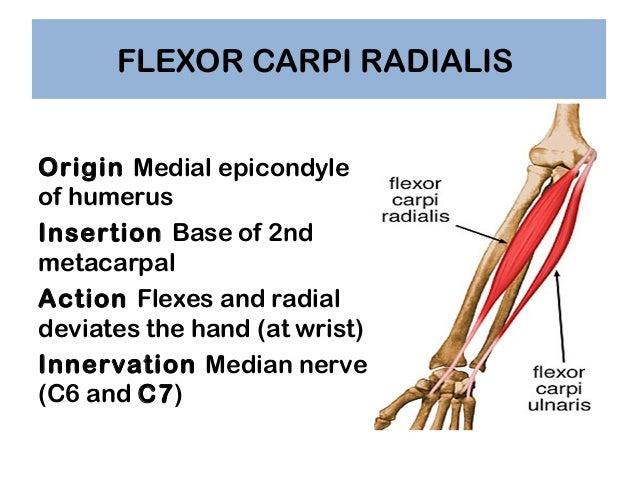 fcr tendon