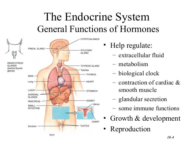 Harmones Cology Ppt Finalppt1 in addition 133 moreover Image Of Male Reproductive Organ as well Midsagittal View Of Upper Respiratory Structures further Kidneys Location In Body. on human body cavities with organs labeled