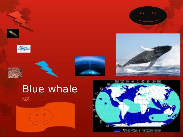 Blue whaleNZ