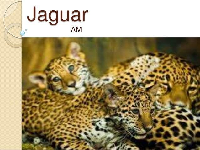 Hartman jaguar