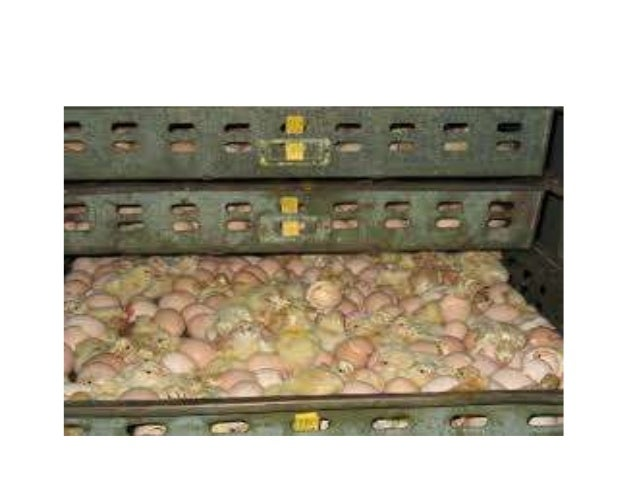 Important Incubation Factors • When incubating any bird egg it is important to control the same factors of temperature, hu...