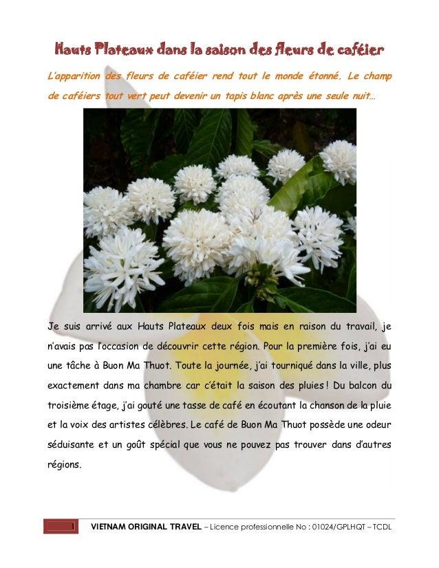 Hauts Plateaux dans la saison des fleurs de caféier L'apparition des fleurs de caféier rend tout le monde étonné. Le champ...