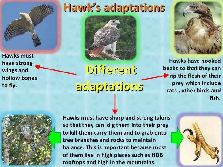 Hawk's adaptations Hawks must have strong wings and hollow bones to fly. Hawks have hooked beaks so that they can rip the ...