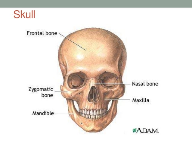 Anatomy head neck
