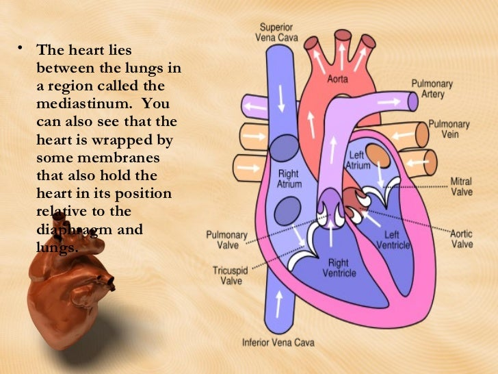anatomy cardiovascular anatomy and physiology The cardiovascular system a review: the heart slideshare uses cookies to improve functionality and performance, and to provide you with relevant advertising if you continue browsing the site, you agree to the use of cookies on this website.