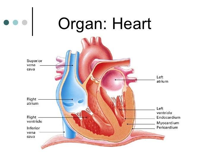 Organ: Heart
