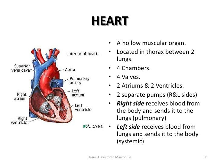 Anatomy of the heart and its functions