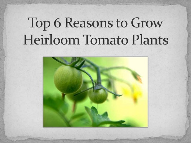 Top 6 Reasons to Grow Heirloom Tomato Plants