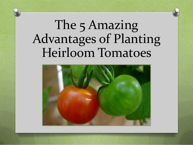 The 5 Amazing Advantages of Planting Heirloom Tomatoes