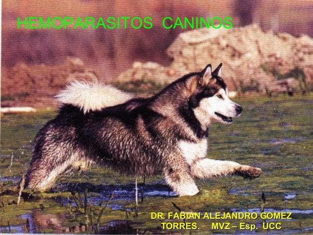 Hemoparasitos caninos
