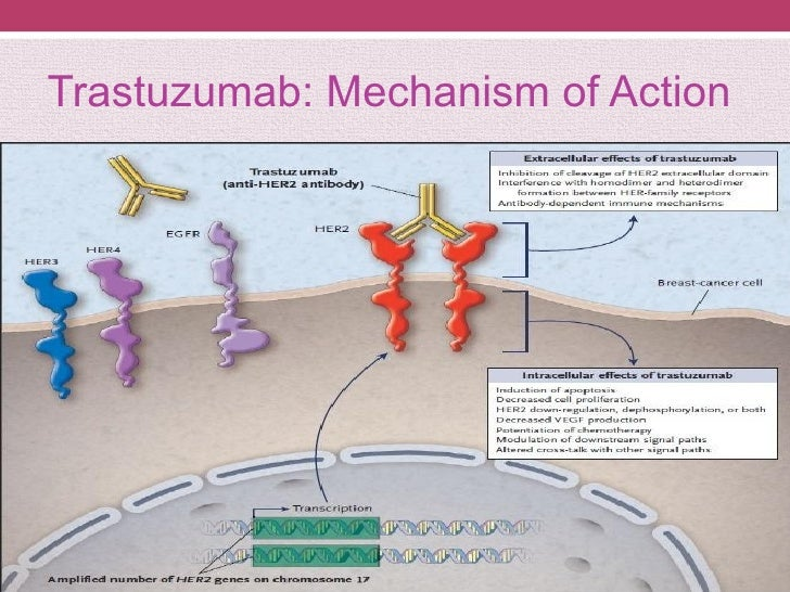 Her2 In Breast Cancer New Directions In The Treatment